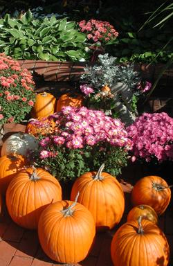 Pumpkins and Purple Mum Plants
