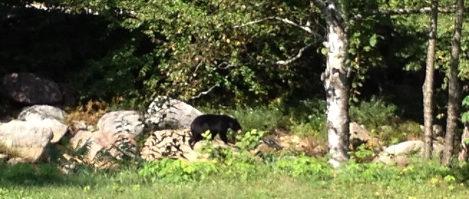 bear on rocks in Ellis River