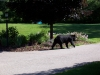 bear_july19